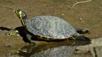 Trachemys_scripta_scripta_(Emydidae)_(Yellow-bellied_Slider)_-_(adult),_Río_Guadaiza,_Spain
